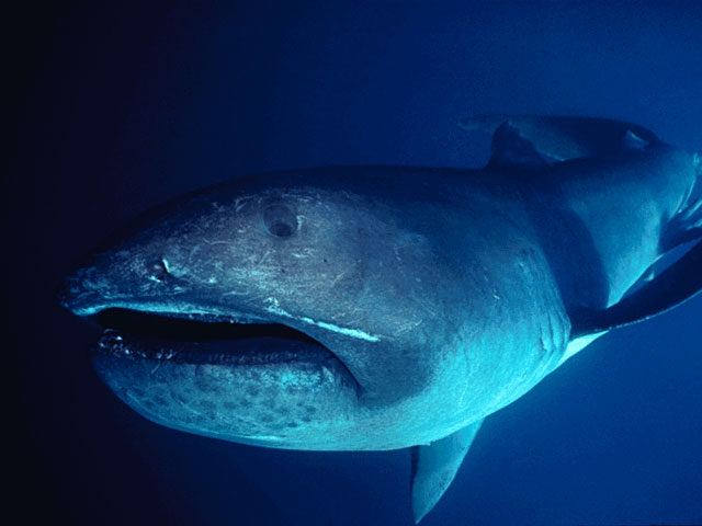 Rare Megamouth Shark F...