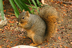250px-Lightmatter_wild_squirrel