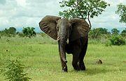 180px-African_Bush_Elephant_Mikumi