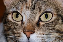 220px-Cat_eyes_2007-2