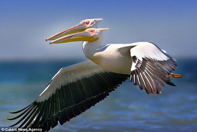 two headed pelican jonathan turley