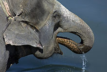 220px-Asian_Elephant,_Royal_Chitwan_National_Park