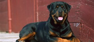 Rottweiler (Canis familiaris) adult resting on the deck of a home