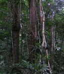 220px-Daintree_Rainforest