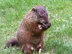 220px-Groundhog3