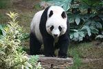 250px-Grosser_Panda