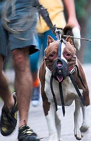 California Man Charged With Murder In Pit Bull Attack ...
