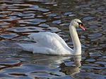 220px-Mute_Swan_Emsworth2