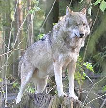220px-Canis_lupus_lupus_qtl1