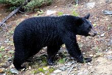 220px-Canadian_Rockies_-_the_bear_at_Lake_Louise