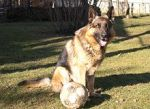 220px-German_shepherd_football