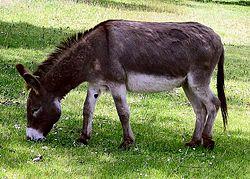 250px-Donkey_1_arp_750px