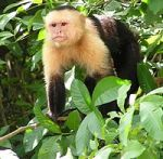 capuchin-monkey-in-leaves