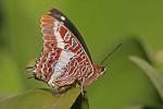 250px-Charaxes_brutus_natalensis