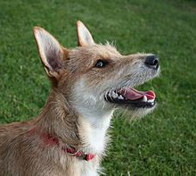 220px-Terrier_mixed-breed_dog