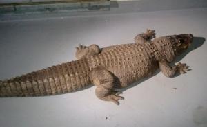 la-alligator-secret-ktla