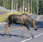 moose-John-J-Mosesso