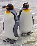 170px-Penguins_Edinburgh_Zoo_2004_SMC