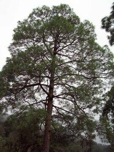 440px-pinus_roxburghii_tree