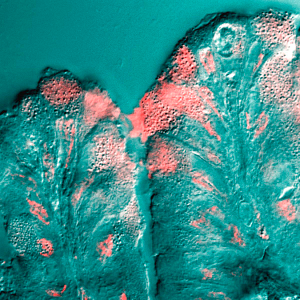 Mucus_cells